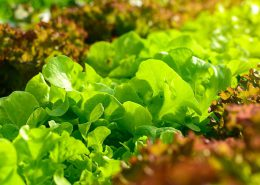 Agrosulca dla warzyw